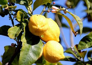 Piscture of a lemon plant. The yellow lemons are mature and spring is in the air in Menton, France
